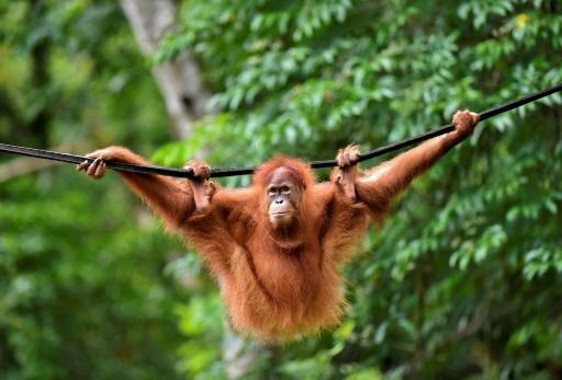 Elaine, une femelle orang-outan de cinq ans, dans la réserve indonésienne de Jantho, sur l'île de Sumatra, le 18 juin 2019 © AFP CHAIDEER MAHYUDDIN