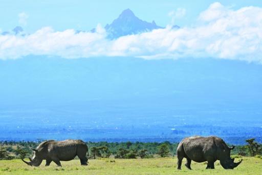La réserve privée animalière d'Ol Pejeta, dans le centre du Kenya, abrite les deux derniers rhinocéros blancs du Nord au monde © AFP TONY KARUMBA