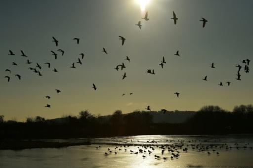 La Commission européenne demande à la France de mettre fin à certaines méthodes de chasse illégales contre les oiseaux, notamment les oies cendrées © AFP/Archives GLYN KIRK
