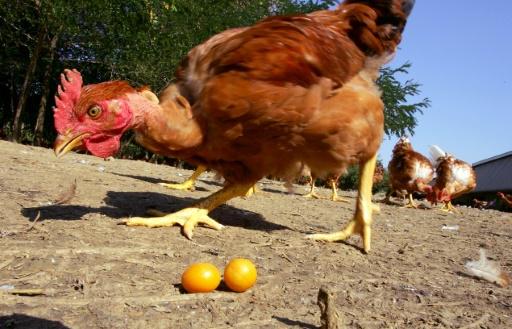 Vue d'un élevage de poulets en plein air réalisée le 29 août 2005 près d'Auch. © AFP/Archives GEORGES GOBET