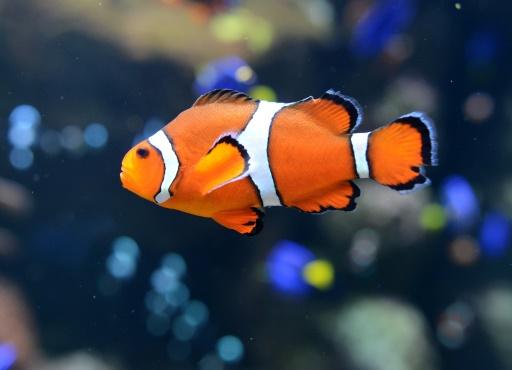 Un poisson clown à l'Aquarium du Pacifique à Long Beach, en Californie, le 26 avril 2012 © AFP/Archives JOE KLAMAR