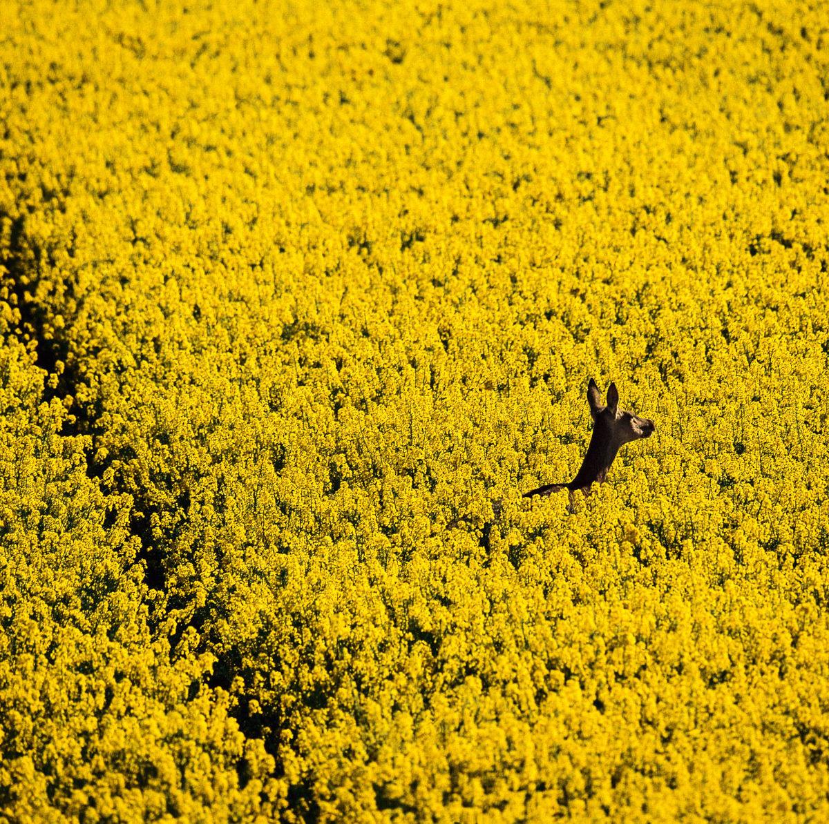 Biche en liberté dans la vallée de Chevreuse, Yvelines, France (48°50' N – 1°47' E).