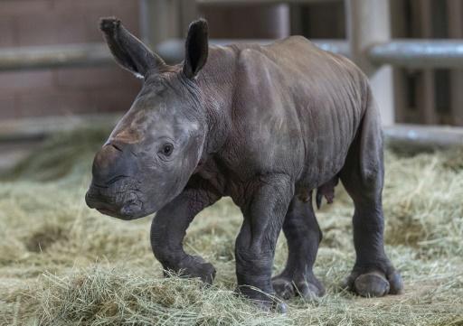 Un bébé rhinocéros blanc né par insémination artificielle dans un zoo de San Diego, le 29 juillet 2019 en Californie © San Diego Zoo Safari Park/AFP Ken Bohn