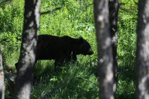Une action d'effarouchement des ours, la première en Ariège dans le cadre du plan gouvernemental, est mise en place jeudi soir par l'ONCFS après la chute mortelle la veille de plus de 60 brebis © AFP/Archives RAYMOND ROIG