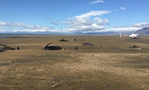 Des dizaines de baleines échouées sur une plage en Islande, le 18 juillet 2019 © Reykjavik Helicopters/AFP David SCHWARZHANS