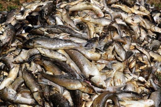 Des milliers de poissons morts dans l'étang de Bolmon, à Marignane (Bouches-du-Rhône), près de Marseille, le 1er juillet 2019 © AFP Boris HORVAT