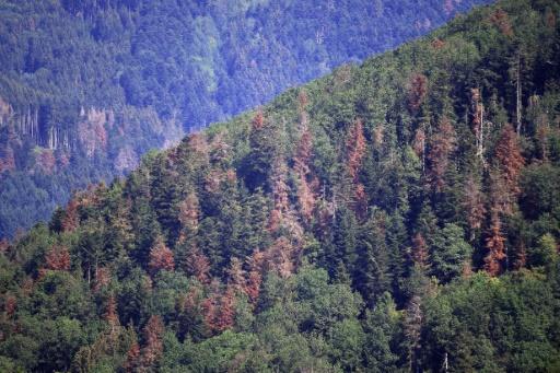 La forêt vosgienne souffrant de la sécheresse près de Masevaux, le 12 juillet 2019 © AFP Frederick FLORIN