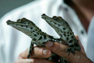 """Deux crocodiles d'une espèce menacée, le """"faux gavial d'Afrique de l'ouest"""", sont nés mi-juin dans un parc zoologique Biotropica du Val de Reuil, le 11 juillet 2019. © AFP Lou BENOIST"""