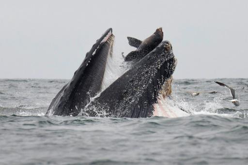 Un lion de mer tombe accidentellement dans le gueule d'une baleine à bosse dans l'océan Pacifique, au large de la Californie © Chase Dekker/AFP Chase DEKKER