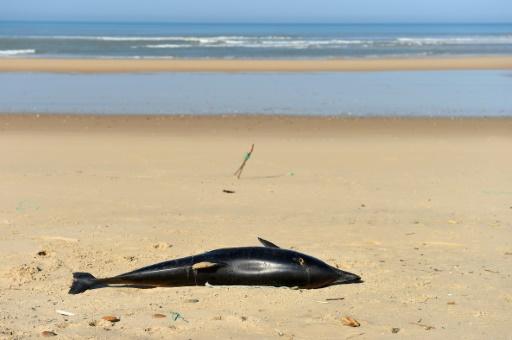 Un dauphin mort sur une plage de Lacanau (sud-ouest), le 22 mars 2019 © AFP/Archives NICOLAS TUCAT