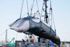 Une baleine est chargée par une grue dans le port de Kushiro, le 4 septembre 2017. © JIJI PRESS/AFP/Archives JIJI PRESS