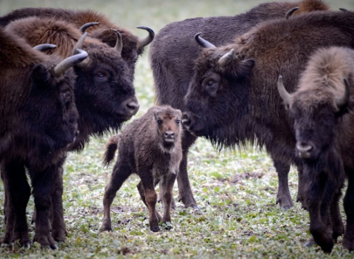bisons megeve