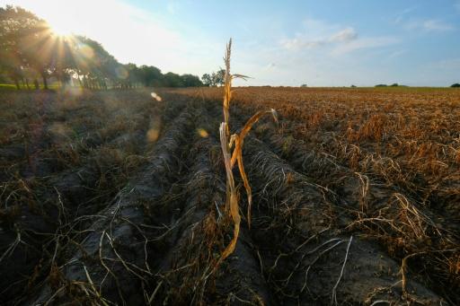 Un champ de pommes de terre touché par la sécheresse, le 17 août 2018 à Geestland, dans le nord de l'Allemagne © AFP/Archives Patrik STOLLARZ