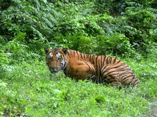 Un tigre du Bengale dans le parc national de Kaziranga en Inde, le 21 décembre 2014 © AFP/Archives STR