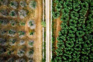 Vue aérienne d'oliviers touchés par la bactérie Xylella fastidiosa (g) et d'oliviers qui semblent résister à la contamination (d), le 20 juin 2019 près de Racale, dans le sud de l'Italie © AFP Charles ONIANS