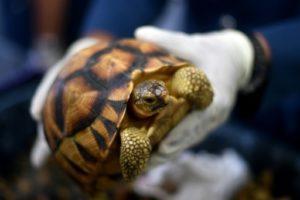 Saisie de tortues par les douanes en Malaisie, en 2017 © AFP/Archives Manan VATSYAYANA