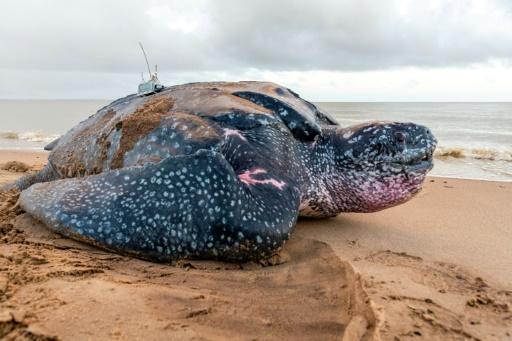 Une tortue luth équipée d'une balise Argos posée par le chercheur CNRS Damien Chevallier, le 5 juin 2019 sur la plage d'Awala-Yalimapo, en Guyane française © AFP jody amiet