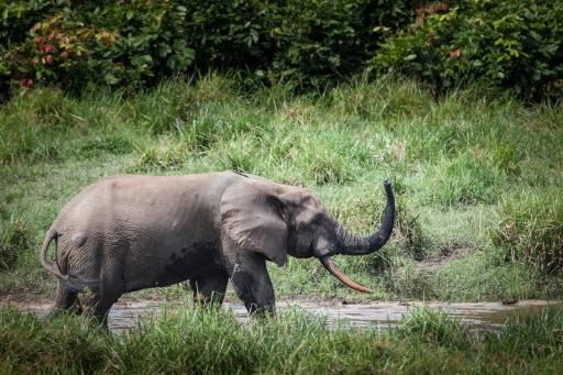 Un éléphant de forêt à Lagoue Bai, dans le parc national d'Ivindo, au Gabon, le 26 avril 2019 © AFP/Archives Amaury HAUCHARD