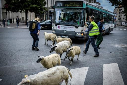 Des bergers traversent la rue avec leur troupeau à Aubervilliers le 13 juin 2018 pour la transhumance de l'été © AFP/Archives STEPHANE DE SAKUTIN