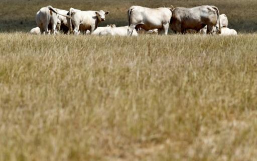 Des vaches dans un pré frappé par la sécheresse dans la Creuse, le 20 juillet 2019 © AFP GEORGES GOBET