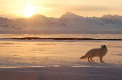 Une renarde polaire a réalisé entre la Norvège et le Canada un exploit de marathonien en parcourant 3.500 km en seulement 76 jours © AFP/Archives GREGORY TERVEL