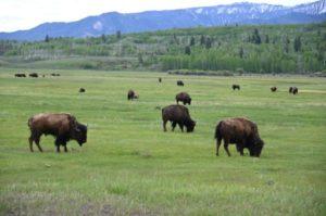 Des bisons dans le Wyoming le 12 juin 2019 © AFP/Archives Daniel SLIM