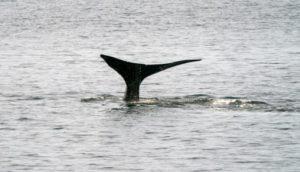 Une baleine franche (ou noire), le 14 avril 2019 au large du Massachusetts aux Etats-Unis © AFP Don Emmert
