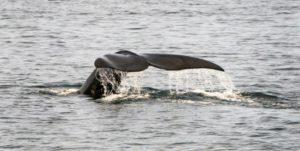 Une baleine franche (ou noire), le 14 avril 2019 au large du Massachusetts aux Etats-Unis © AFP/Archives Don Emmert