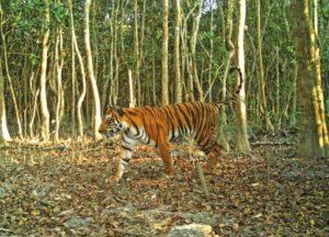 Un tigre du Bengale dans la forêt de Sarankhola, dans le sud-ouest du Bangladesh, le 11 avril 2018 © BANGLADESH FOREST DEPARTMENT/AFP/Archives Handout