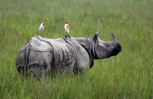 Un rhinocéros unicorne le 17 juin 2019 dans le parc national de Kaziranga en Inde © AFP Biju BORO