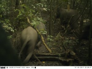 Photo prise le 3 janvier 2017 et publiée par the Omo Forest Initiative, montrant des éléphants marchant dans la forêt Omo, au nord-est de Lagos, au Nigeria © Omo Forest Initiative/AFP/Archives Handout