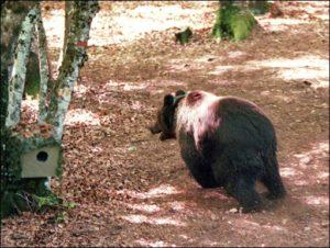 """L'association Ferus a dénoncé vendredi l'action d'effarouchement des ours la veille par décision de la préfecture de l'Ariège, considérant qu'il s'agit d'un moyen inefficace, destiné à """"acheter la paix sociale"""" avec les éleveurs. © AFP/Archives GABRIEL BOUYS"""