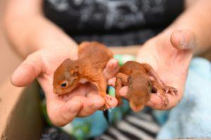 """Un volontaire de l'association """"Goupil"""" s'occupe des jeunes écureuils, le 9 juillet 2019. © AFP SYLVAIN THOMAS"""