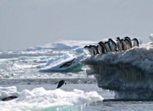 Des manchots d'Adélie le 2 mars 2018 sur un iceberg des îles Danger, en Antarctique © Stony Brook University/AFP Rachael Herman