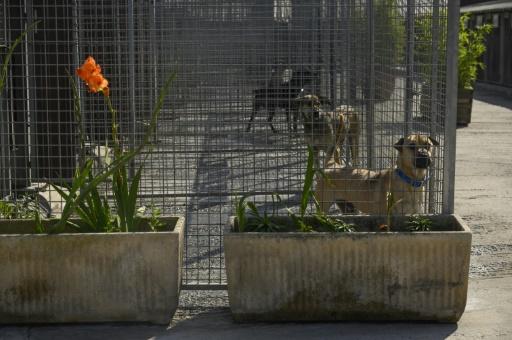 Des chiens abandonnés attendent dans des enclos au refuge pour animaux de la SPA, le 13 août 2019 à Gennevilliers, au nord-ouest de Paris © AFP Olivier MORIN