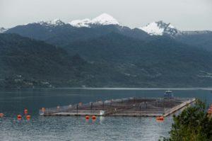 saumon aquaculture chili