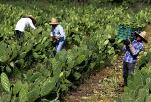 Récolte du nopal, une variété de cactus, le 1er août 2019 à Zapopan, dans l'Etat de Jalisco, au Mexique © AFP ULISES RUIZ