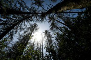 Des épicéas souffrant de la sécheresse, le 25 juillet 2019, dans la forêt de Nieheim, dans l'ouest de l'Allemagne. © AFP/Archives INA FASSBENDER