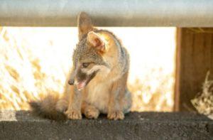 Un bébé coyote, le 27 juillet 2018 en Californie © AFP/Archives JOSH EDELSON