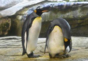 pingouins homosexuels