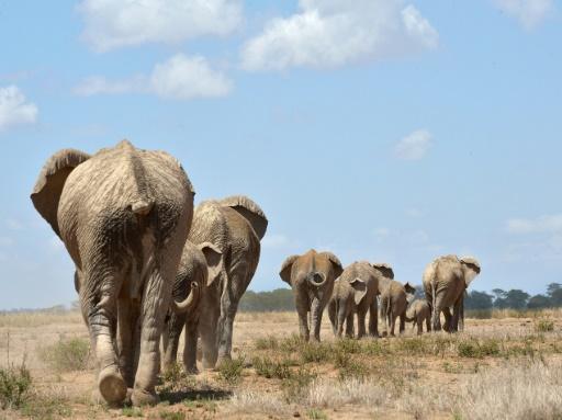 éléphants chasse aux trophées