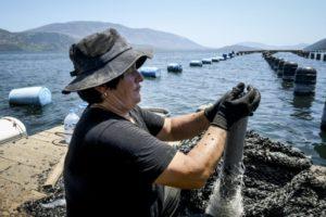 Violet Mihasi, une mytilicultrice albanaise, ramasse des moules sur une barge flottante à Butrint, dans le sud du pays, le 3 juillet 2019 © AFP Gent SHKULLAKU