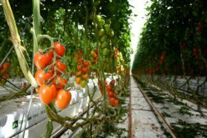 Des tomates cultivées à la ferme hydroponique Sfera Agricola, le 27 juin 2019 à Gavorrano, en Italie © AFP ALBERTO PIZZOLI