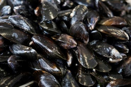 """La moule est un """"superfiltreur du milieu marin"""" et un """"bioindicateur"""" de l'état de santé des mers © AFP/Archives JOEL SAGET"""