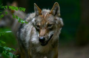 Un loup sauvage, photographié le 27 juin 2019 à Verden an der Aller en Allemagne © AFP PATRIK STOLLARZ