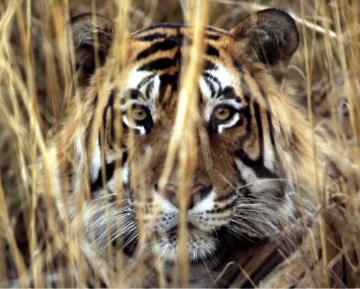tigres trafic