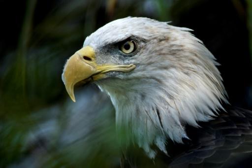 Le pygargue à tête blanche est l'animal symbole des Etats-Unis © AFP/Archives Brendan Smialowski