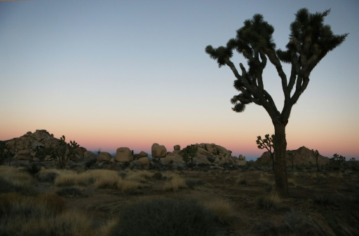 Un arbre de Josué dans le parc national de Joshua Tree (Californie) le 4 janvier 2019 © GETTY IMAGES NORTH AMERICA/AFP/Archives MARIO TAMA