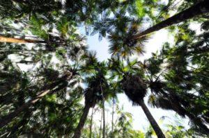 Forêt d'Acai Brésil