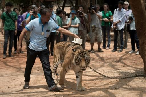 tigre thailande